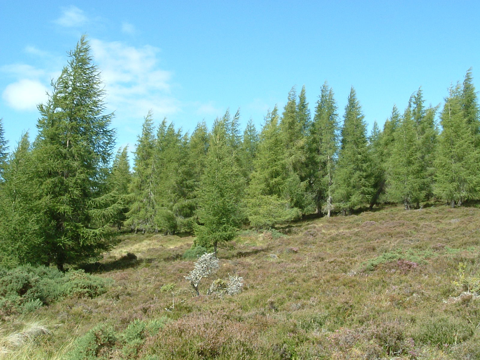 Heather and pine on the Great Glen Way