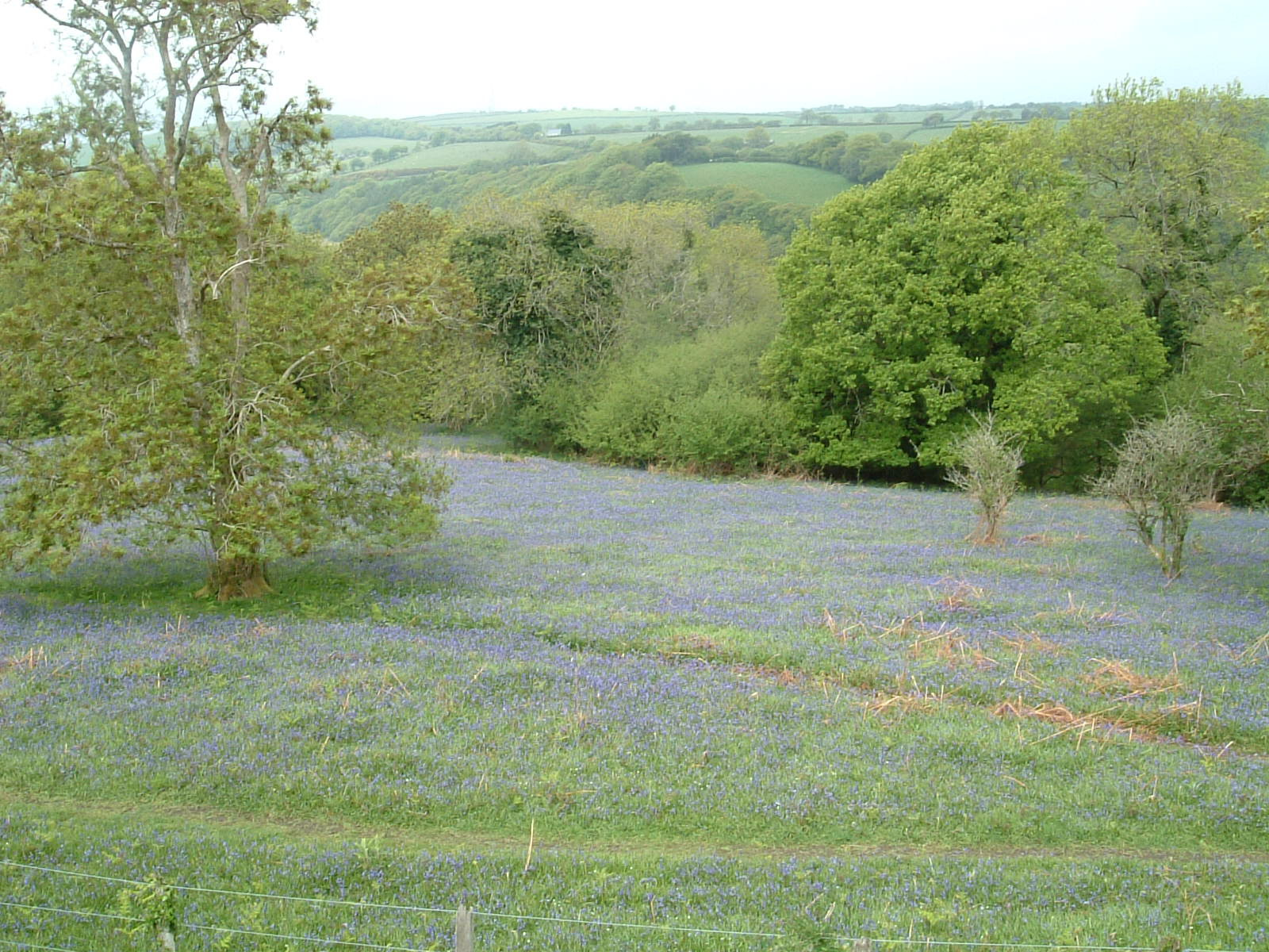A field of bluebells on the Granite Way