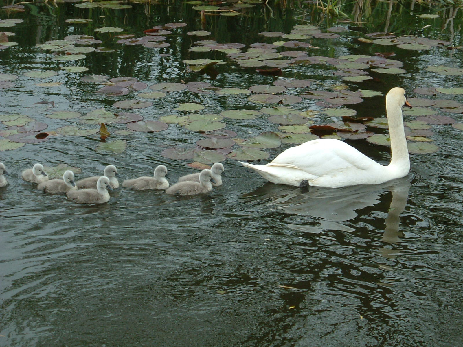 A family of swans in Sampford Peverell