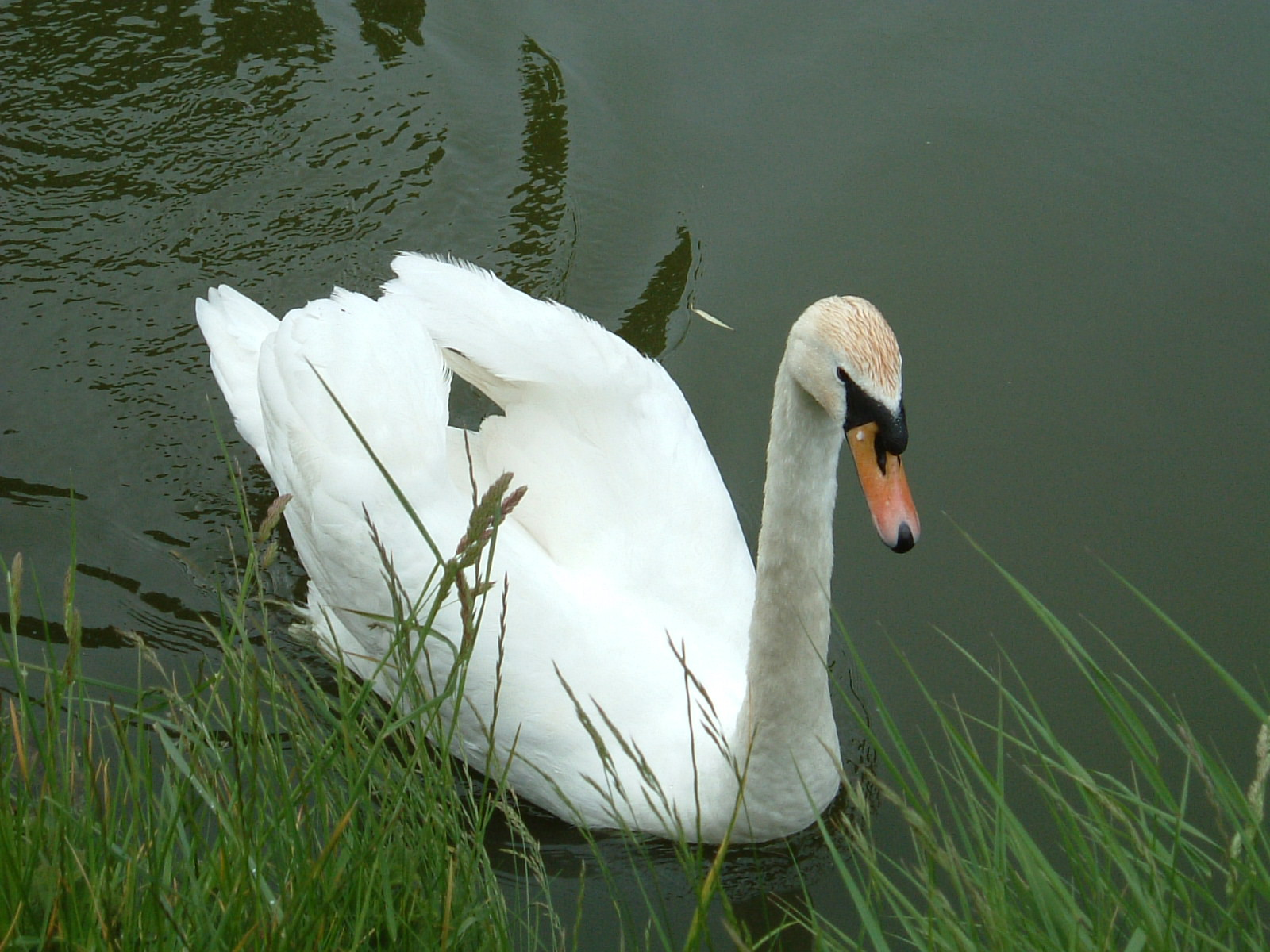 A swan on the Great Western Canal