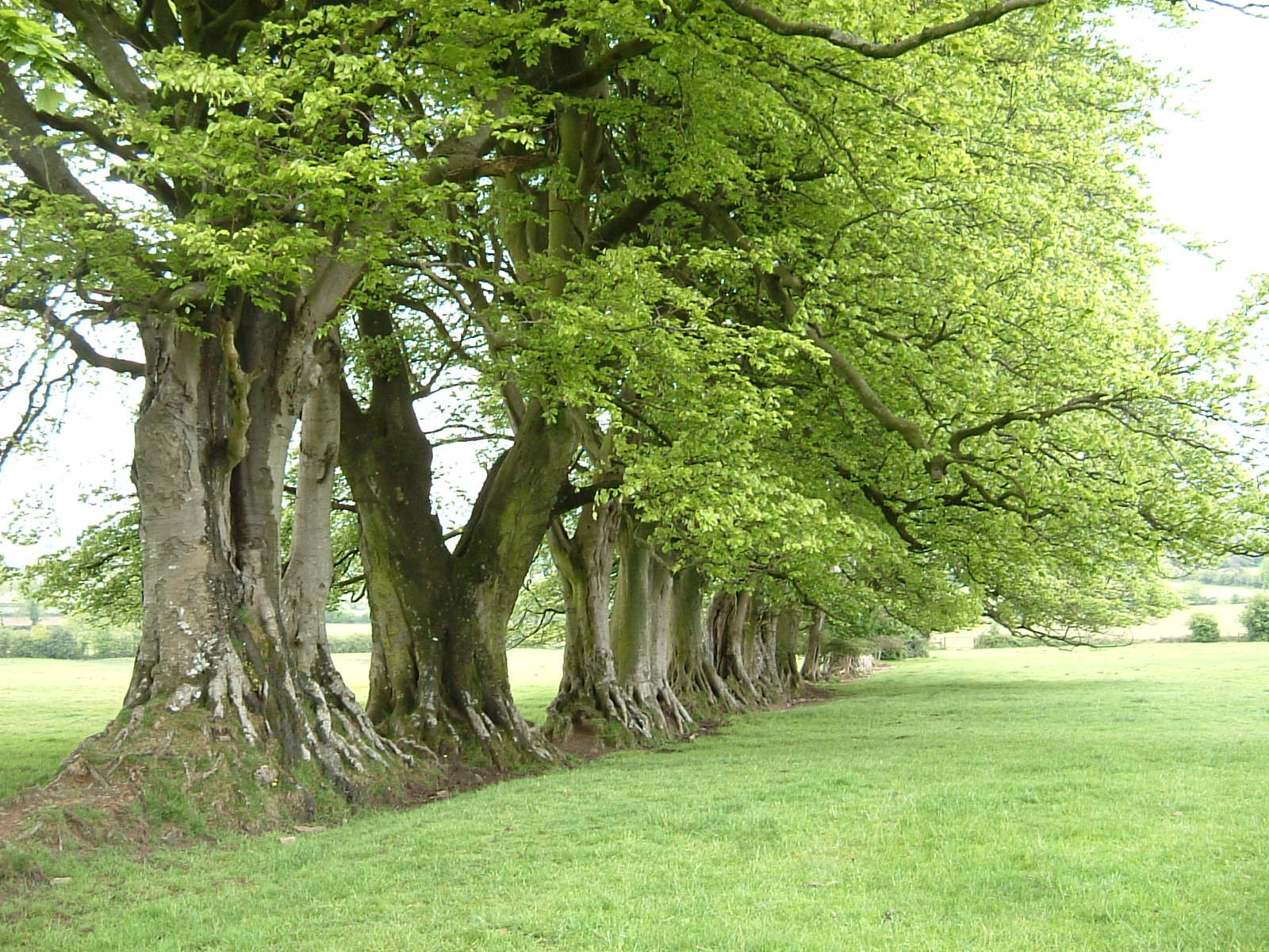 Old trees north of Maesbury Castle