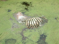 A dead animal in the irrigation channels along Butleigh Drove