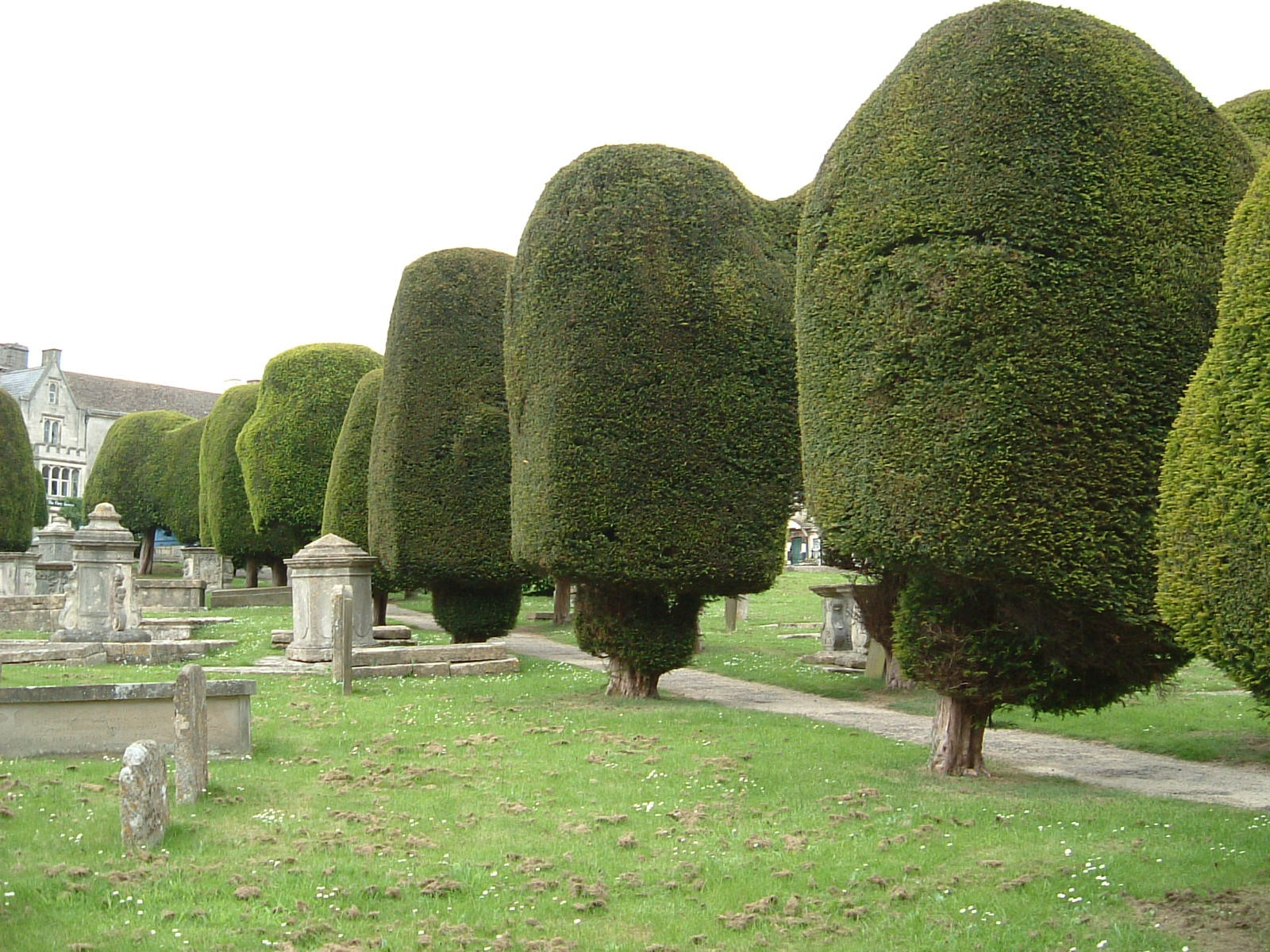 Some of the 99 beautifully crafted yew trees in the churchyard
