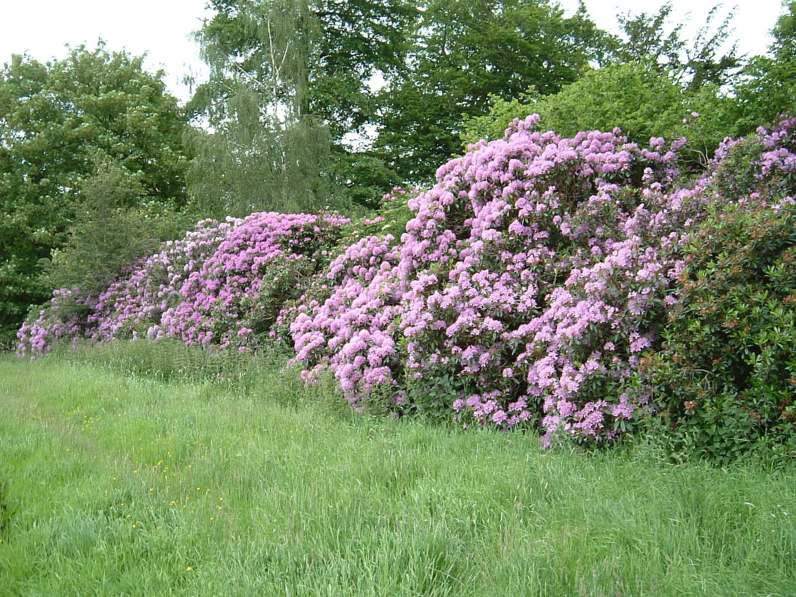 Rhododendrons by the River Dove