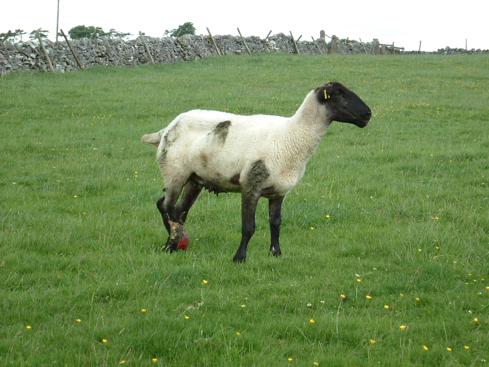A sheep with an injured foot