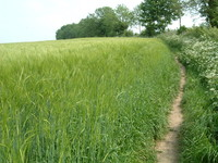 A field with a path round the side of the crops